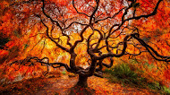 Big Japanese maple tree