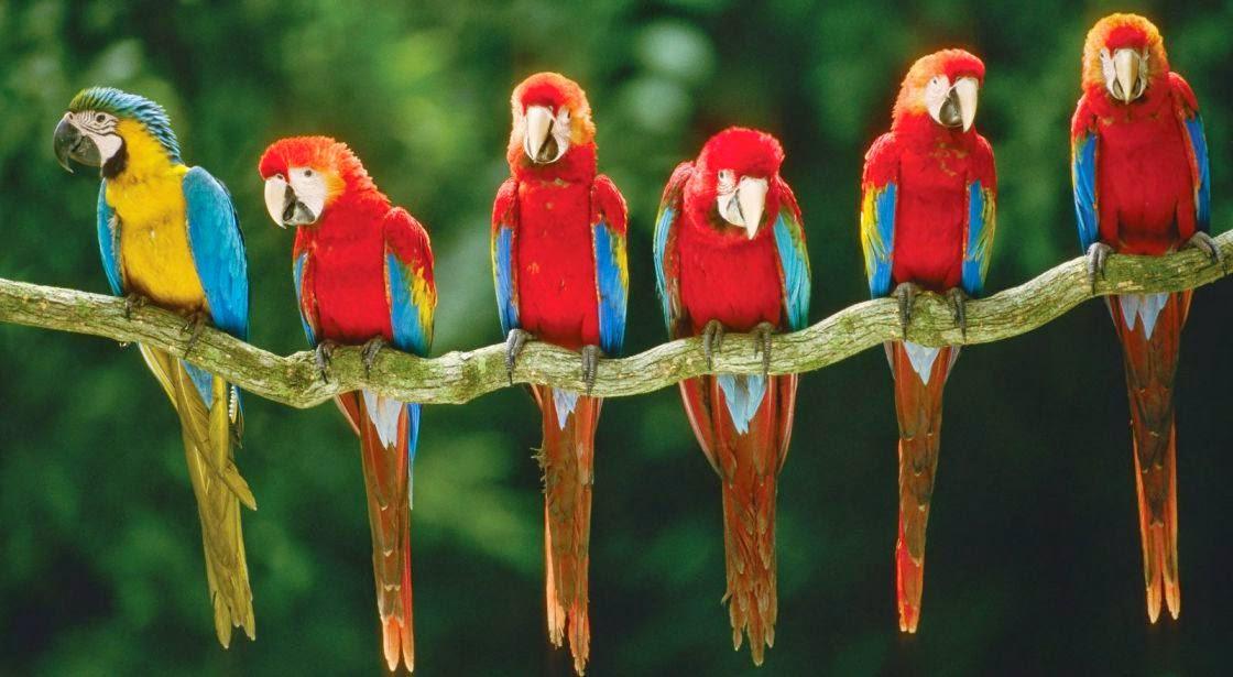 Guacamayos, aves de la selva