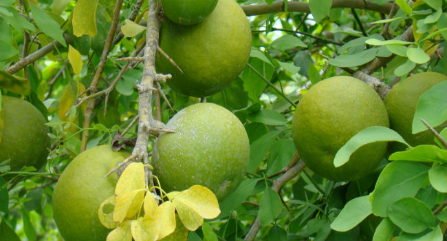 Health Benefits for Maja or Bael Fruit