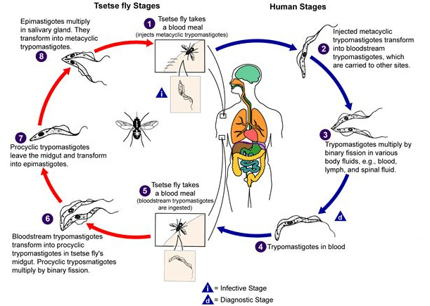 Life-cycle of Sleeping Sickness
