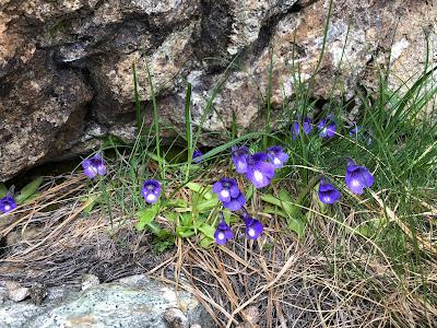 [Lentibulariaceae] Pinguicula vulgaris – Common Butterwort (Erba unta comune).