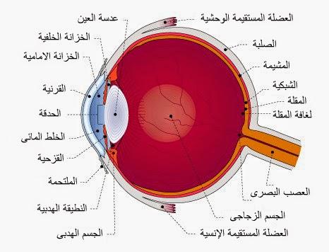 العين والضوء