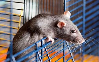 Diệt chuột cho căn hộ chung cư tại Hà Nội