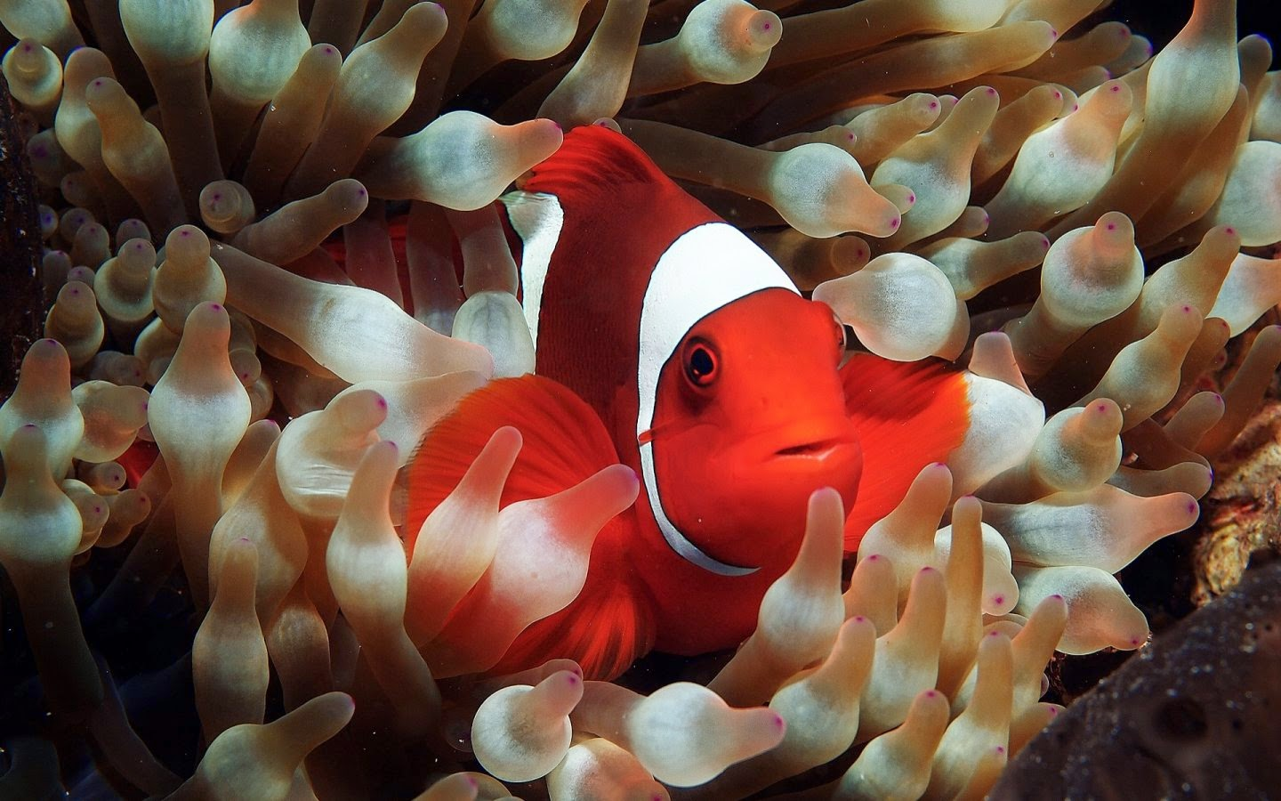 Nature Wallpaper - Best Nature Wallpapers: Clown fish ...