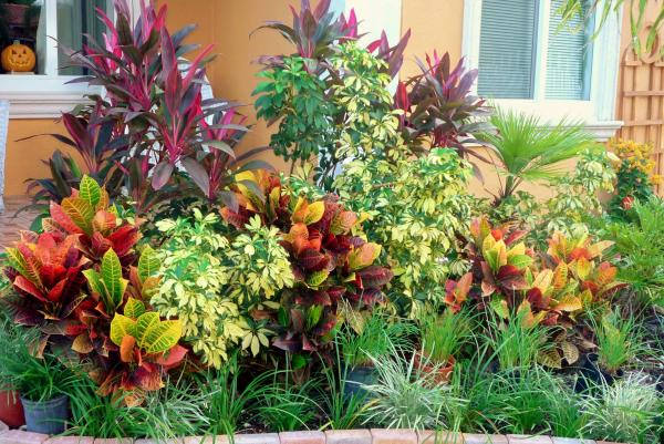 stunning cordylines crotons u variegated pittosporum in a south florida landscape with florida landscape ideas front yard