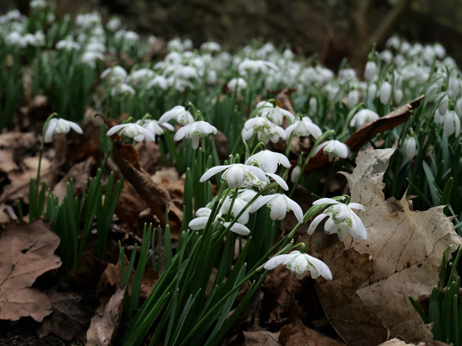 snowdrops-hopetoun-house