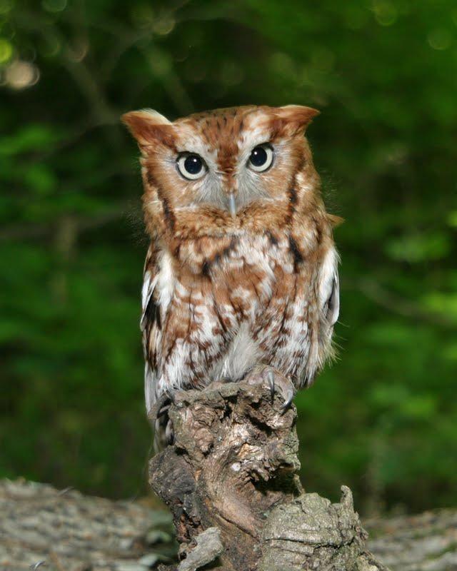 Screech owl drawing acorn the screech owl is a
