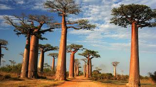 A avenida ou alameda dos baobás é um proeminente grupo de árvores baobá alinhadas em uma estrada de terra entre Morondava( cidade na costa oeste de Madagascar) e Belon'i Tsiribihina na região Menabe. A paisagem impressionante atrai viajantes de todo o mundo, tornando-se um dos locais mais visitados da região. Ela tem sido um centro dos esforços de conservação local, e foi concedido status de proteção temporária, em julho de 2007 pelo Ministério do Ambiente, Águas e Florestas, o primeiro passo para torná-la primeiro monumento nacional de Madagascar. O tronco dos baobás adota a forma de garrafa durante a fase de maturidade da árvore, em geral estimada pelos 200 anos. Em boas condições ecológicas, sobre solo arenoso, com um clima temperado e precipitação anual entre 300 e 500 mm estas árvores podem viver até aos 800 ou 1000 anos.  Descrição: em uma região seca, sob céu azul com nuvens, ao longo de uma faixa de terra, cerca de uma dúzia de árvores Baobá  de aproximadamente trinta metros de altura, tronco cilíndrico e massivo na base e afunila no alto destacando a copa compacta composta por folhas de cinco a onze folíolos que surgem do mesmo pecíolo em círculo e cujos bordos são inteiros. Os raios do sol incidem sobre os troncos deixando-os com um brilho acobreado. Ao fundo, vegetação baixa e escassa.