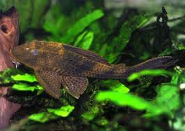 Ikan Sapu Sapu  Common Pleco