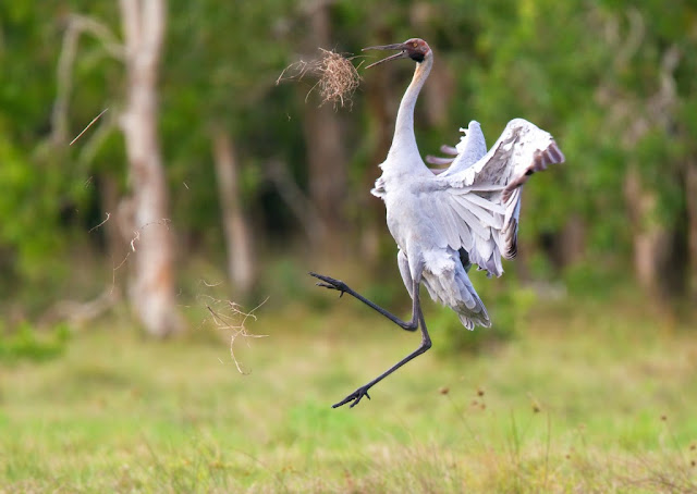 Brolga facts, information and pictures 3