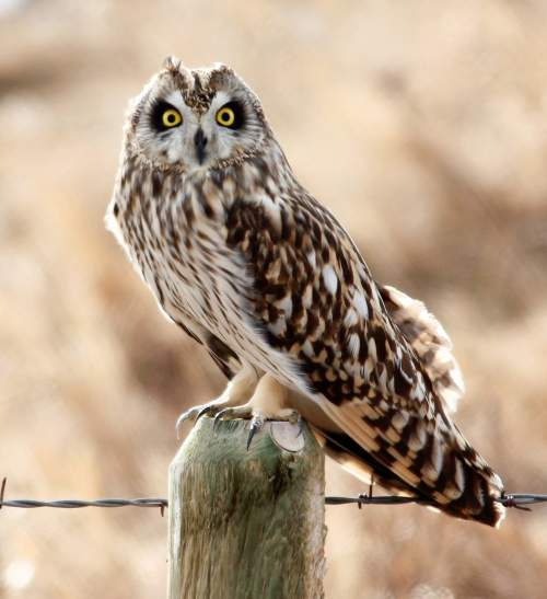Birds of India - Photo of Short-eared owl - Asio flammeus
