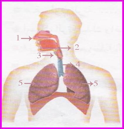 العلوم للصف الرابع الابتدائي الجهاز التفسي في الانسان