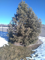 Winter Watering for Trees and Shrubs in the Mountains