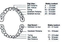 3 Periode Pertumbuhan Gigi yang Perlu Diketahui