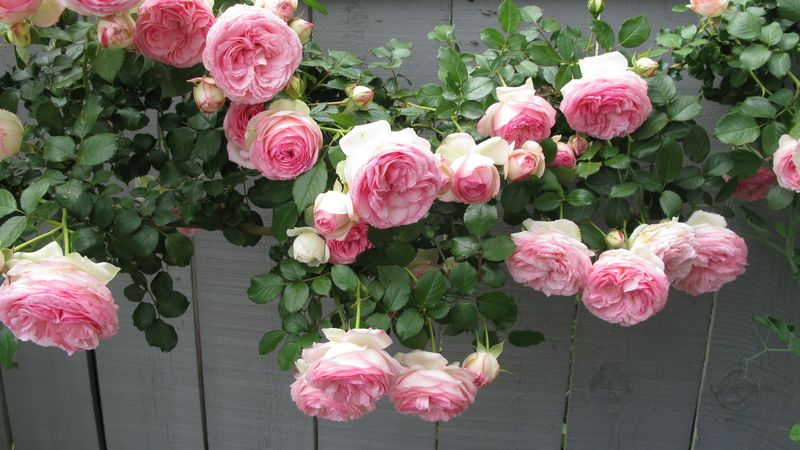 Hải Đường Lệ Cách là một loài hoa quý phái, sang trọng, tinh khôi