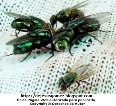 Imagen de moscas unidas para comer de Jesus Gómez