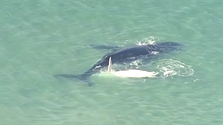 The humpback whale calf nudged its mother to safety off the coast of Queensland.