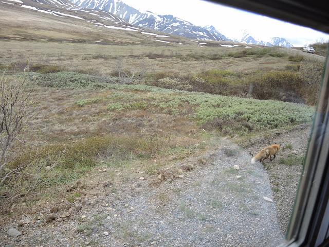 Denali national park 14