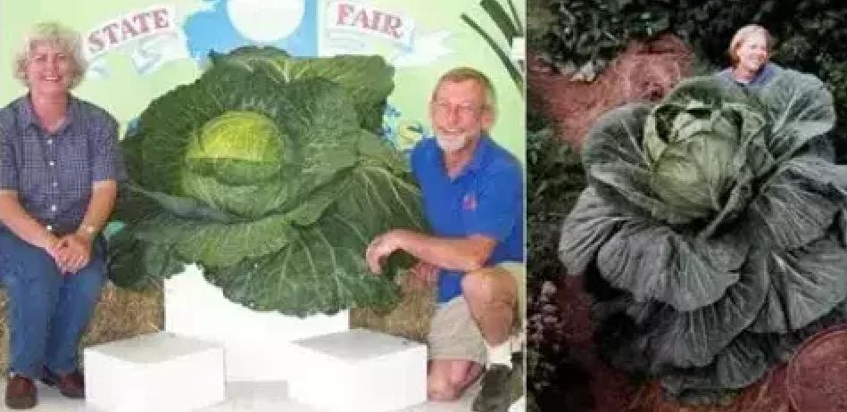 world's biggest cabbage