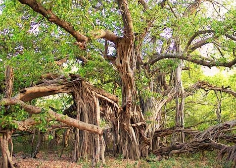 three interesting facts about the banyan tree