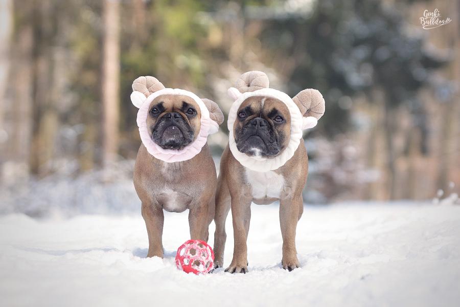 Französische Bulldogge Hundeblog Schwarznasenschaf