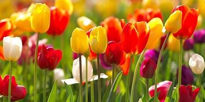 Bunga Tulip Berasal dari Negara Asia Tengah dan Terkenal di Belanda