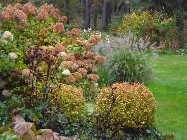 rozplenica Hamelm, hortensja Limelight jesienią