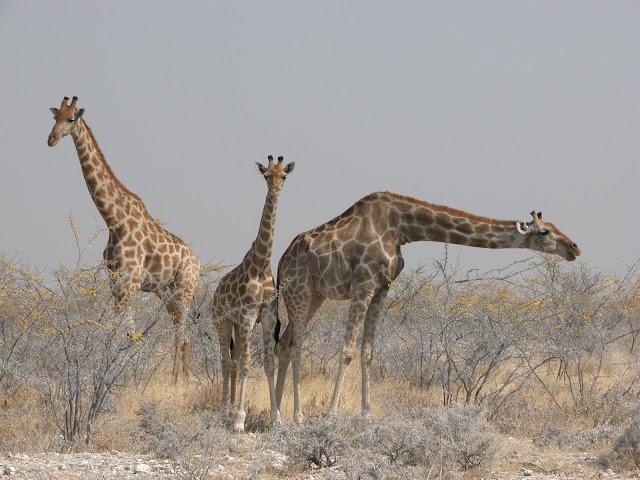 Etosha Nationalpark Giraffen