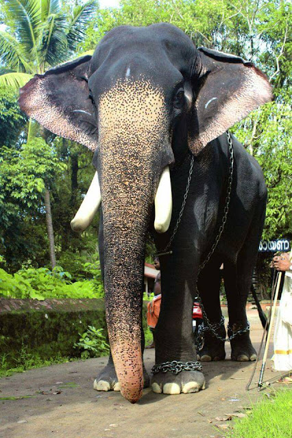 Guruvayoor Valiya Kesavan Kerala Elephant - One of the ...