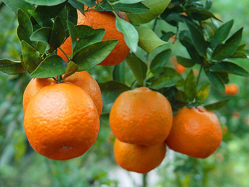 Seedless Ponkan Mandarin