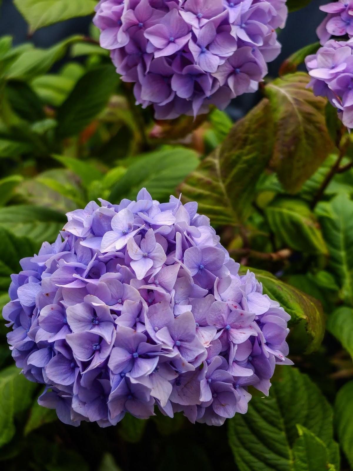 Two big purple hydrangea heads.