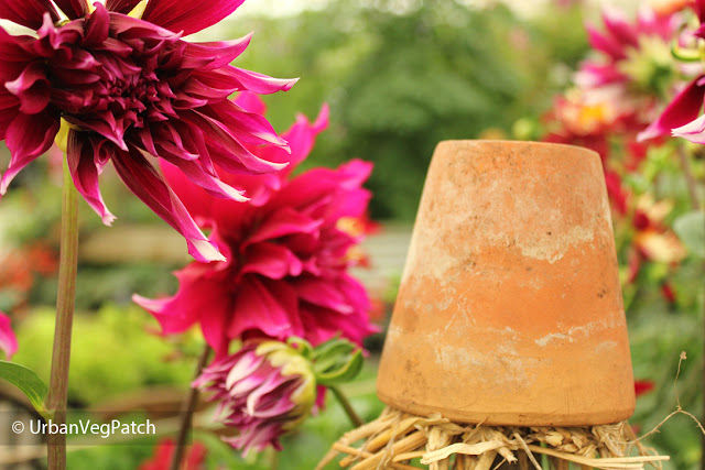 Dahlias and upturned flowerpot