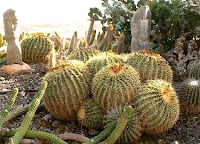 Эхинокактус Грузони (Echinocactus grusoni)