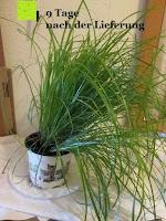 schief: Katzengras - Cyperus alternifolius - 3 Pflanzen - zur Verdauungsunterstützung von Katzen