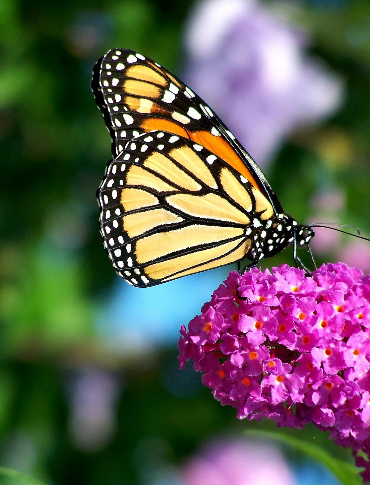 Garden therapy beautiful butterflies for Butterfly in a flower
