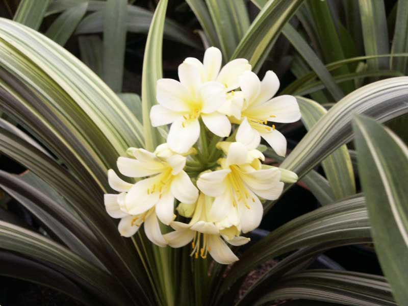 Best Flower S Care Clivia