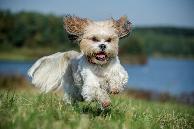 Which dog breeds are the best alternatives to the French Bulldog? Experts' answers include the Shih Tzu, pictured.