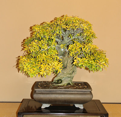 120 year old Bonsai Pomegranate tree