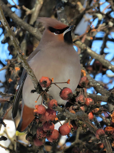 Lens and Cover - Photography | Waxwing and Rowan Berries