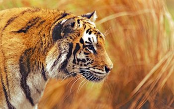 Wallpaper: Bengal Tiger