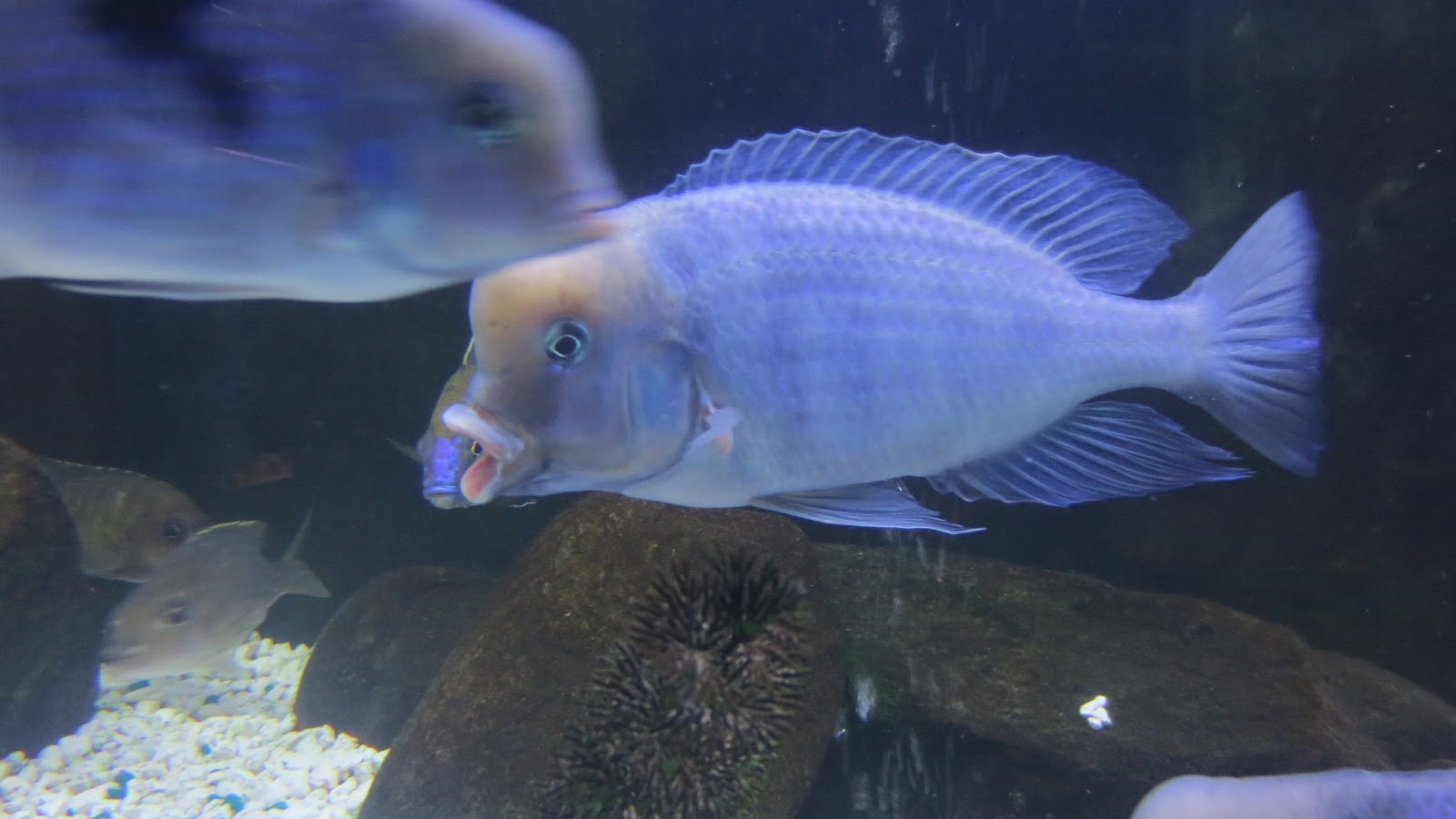 mal/tang fish: Cyrtocara moorii Blue Dolphin, 3-6-13