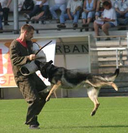 German Shepherd Attack People Latest Images 2013-14 ...