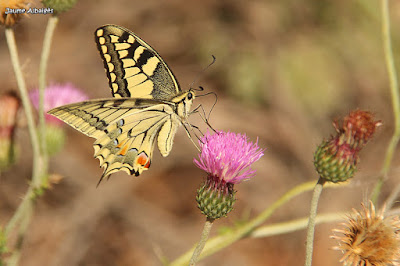 Papallona reina (Papilio machaon)