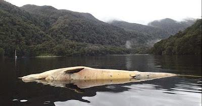 dead sei whale in Southern Chile
