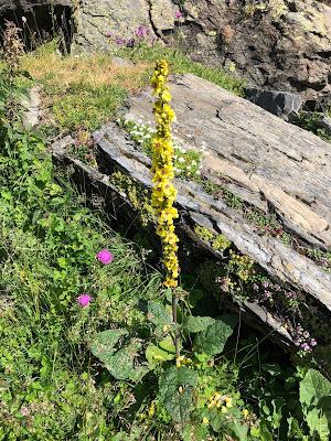 [Scrophulariaceae] Verbascum alpinum – Mullein (Verbasco alpino)