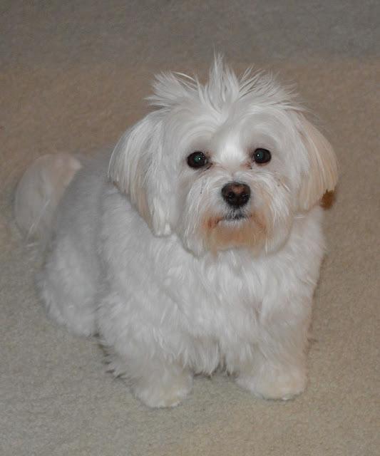 maltese-yorkie-mix-dog