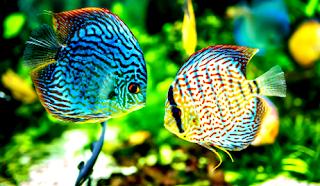 Begini Perbedaan Pemeliharaan Ikan Hias di Akuarium dan Kolam