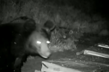 Κρυφή κάμερα τσάκωσε αρκούδα να καταστρέφει μελίσσια