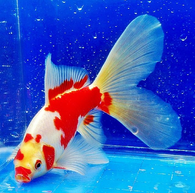 Ikan Mas Koki Komet Ciri Ciri Dan Klasifikasinya
