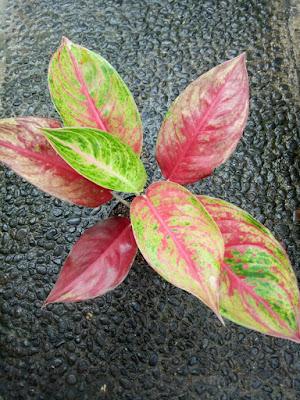 Tukang taman surabaya macam bunga aglaonema terbaru